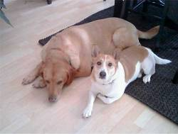 Submitted by Mike B: Our 8 year old English Lab Max and Corgi Shiba mix Casey. We thought Casey was a Nordic Spitz, he was a rescue as was Max, but we really don't know what his mix is. It's just a guess. Either way we love them both. Original Article