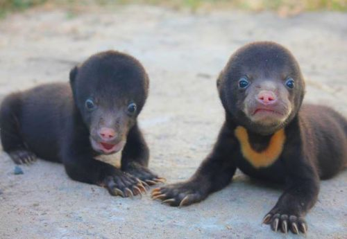 note-a-bear:  Sun bears are actually my favorite bears. In case anyone was wondering about getting me a pet.