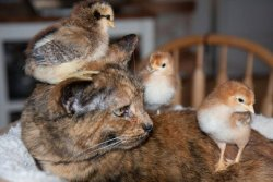 "This cat is a real ""chick magnet"""
