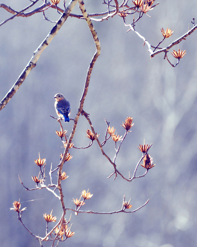 Spring has Sprung… Here Come the Bluebirds www.thebluebirdpatch.com