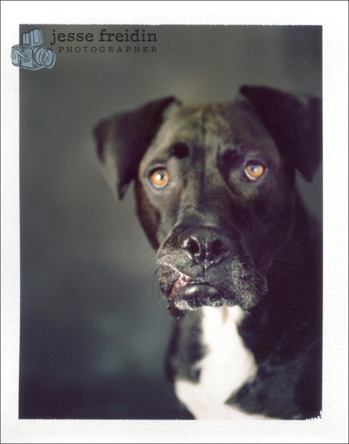 A favorite Instant Dog Portrait. Film: Polaroid 669. Camera: Horseman 4x5 field camera. Dog: Duke.