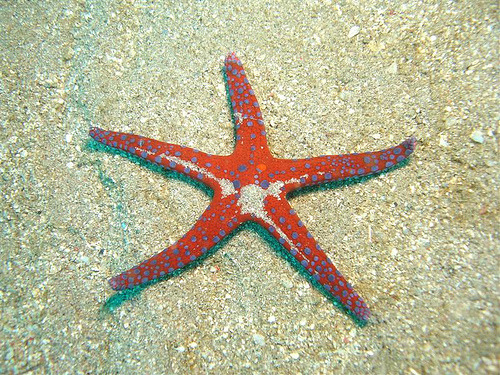 Ghardaqa Sea Star (by Giorgia_Sharm)