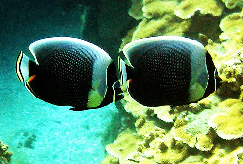reticulated butterfly fish (by bluewavechris)