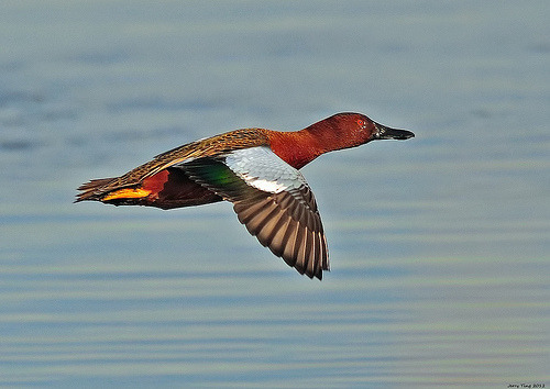 Cinnamon Teal (by Jerry Ting)