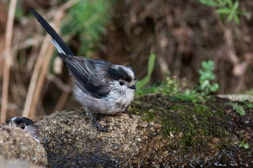 Chapim-rabilongo / Long-tailed tit (Aegithalos caudatus) by Armando Caldas on Flickr.
