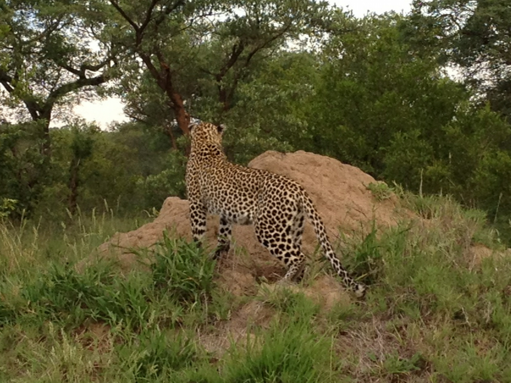 Our first Leopard spotting in Sabi Sands Game Reserve. We'd seen leopard before in Tanzania and Namibia (see: www.viedo.dds.nl) but never before so long and under such perfect viewing conditions. Epic!
