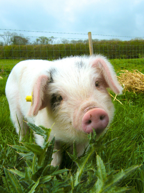 photo404:  Bernard the Pig. Arthingworth, Northamptonshire, England.
