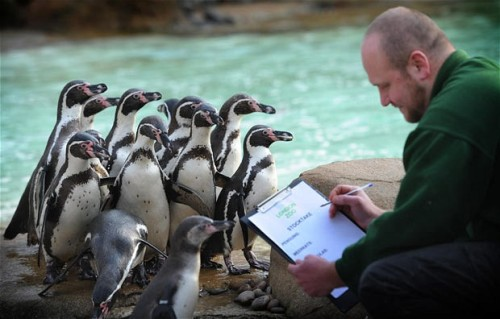 "mabelmoments:  Zookeeper Tim Savage conducts London Zoo's annual stock-take in the penguin pool. Picture: Stefan Rousseau/PA  ""now pay attention everyone, I'm only going to read this once."""