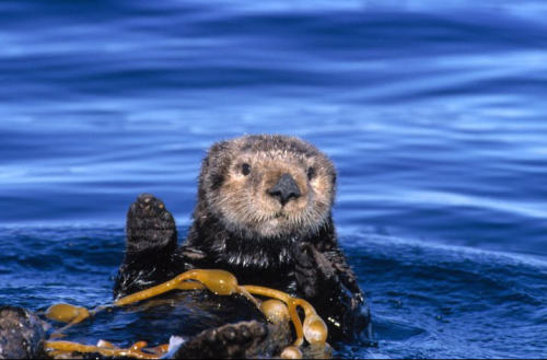 "Did you know you can say ""hi"" to a sea otter in our exhibit, or off our decks? Sea otters in the wild live in loose-knit groups called rafts, sleeping side-by-side, wrapped in strands of kelp so that they don't drift far from each other. Post a photo here if you spot one!"