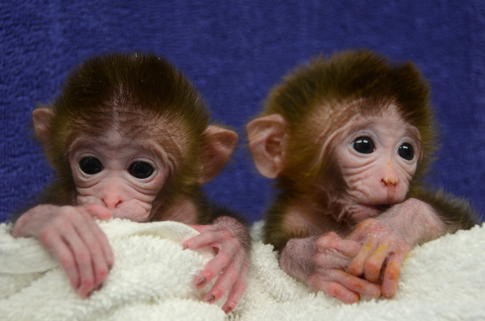 "Chimera monkeys created in U.S. lab by fusing up to six different embryosU.S. researchers said Thursday they have created the world's first genetically modified monkeys by fusing cells from up to six different embryos, in what could be a big advance for medical research.Until now, rodents have been the primary creatures used to make chimeras, a lab animal produced by combining two or more fertilized eggs or early embryos together.Scientists have long been able to create ""knock-out"" mice with certain genes deleted in order to study a host of ailments and remedies, including obesity, heart disease, anxiety, diabetes and Parkinson's disease.Attempts to do the same with more complicated primates have failed in the past, but scientists in the western state of Oregon succeeded by altering the method used to make mice. (Photo: AFP/Oregon Health & Science University)"