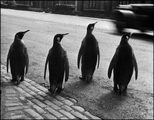 Edinburgh, Scotland, the director of the zoo walks the penguins through the city to attract visitors, 1950.  Werner Bischof / Magnum Photos