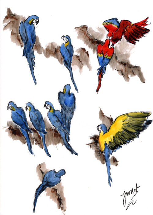 Macaws, 2011 Quick Christmas doodle, I left my brushes in Chelt so had to make do with some of my old, thick bristled ones (shortly before I found Dad's….). Ink. Mess. Progress in terms of speed and expression, putting work into a bit of a context, but still isn't really anything other than sketchbook doodles. (Copyright is mine, yack yack yack.)