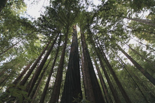 travelwelldocumented:  Redwoods  Reaching towards the sky.