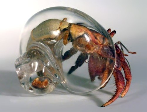 unendinglegacy:  how did they even find a see through shell(the hermit crab)? no a better question would be why they chose it in the first place.