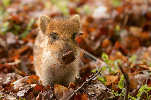 rhamphotheca:  A baby Wild Boar (Sus scrofa) in a wildlife park in the Netherlands. (photo: Sander van der Wel)