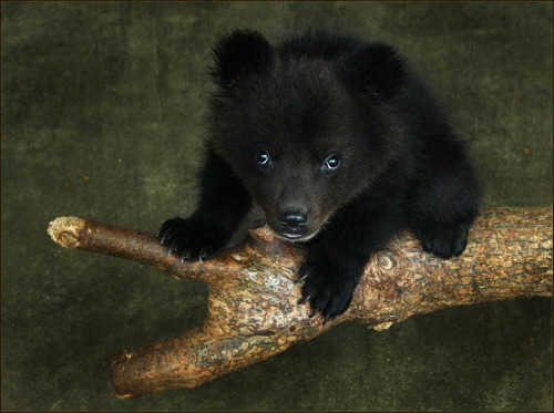 llbwwb:  Bears are so cute when they are little :) BY LOLA