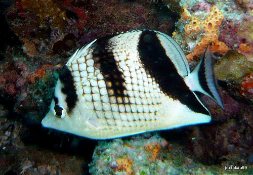 Asian butterflyfish (by takau99)