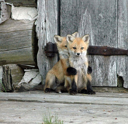 Animals Fox kits