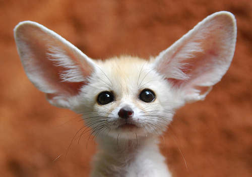 cuteawesome1:  Young fennec fox = cute