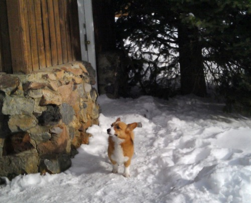"thedailywhat:  Look At This Resilient Dog of the Day: A Welsh Corgi named Ole, who managed to survive the avalanche that killed one of his owners, surprised his family by showing up four days later at their motel room in Cooke City, Montana. ""I just saw it outside sitting by the room, which is pretty amazing,"" said avalanche specialist Mark Staples. Dave Gaillard of Bozeman was killed after being buried by an avalanche southeast of town in Hayden Creek. His wife Kerry managed to escape by clinging to a tree. ""His last words to me were, 'Retreat to the trees.' I think he saw what was coming from above, that I did not see. That reflects Dave's amazing quality — thinking of others,"" she told the Bozeman Daily Chronicle. Ole was believed to have been buried under the snow as well, but must have tunneled his way out. Still, the trek back to Cooke City was likely treacherous, with temperatures below freezing, and deep snow that would be taxing for the dog's short legs. ""How in the world he made it, I don't know,"" said Kay Whittle, the wife of a local businessman who returned the pup to his family. ""If he could just talk — who knows what he did from the day of the avalanche until today?"" [billings / photo: photoblog / thanks abby!]  Dogs continue to amaze…"
