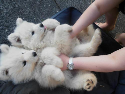 m-angospray:  s-un-rise:  t-ealeaves:  luna-light:  OMGGGG SO cute! I want one!  aw  omg the one sticking out his tongue…..i'm dead, honestly   adorableeee!
