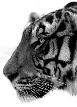 Tiger by @Doug88888 on Flickr.