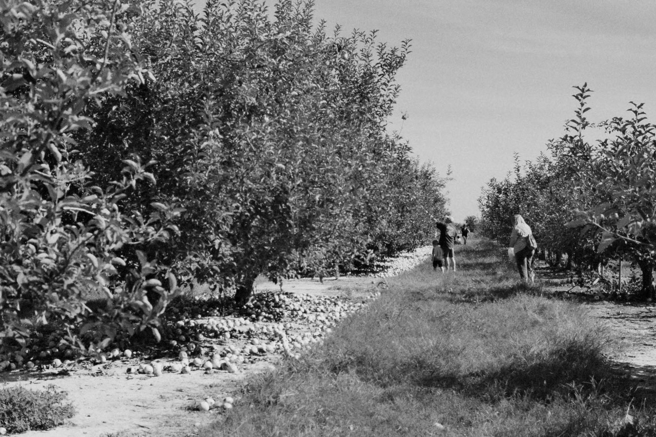 Apple Picking, October 2011.