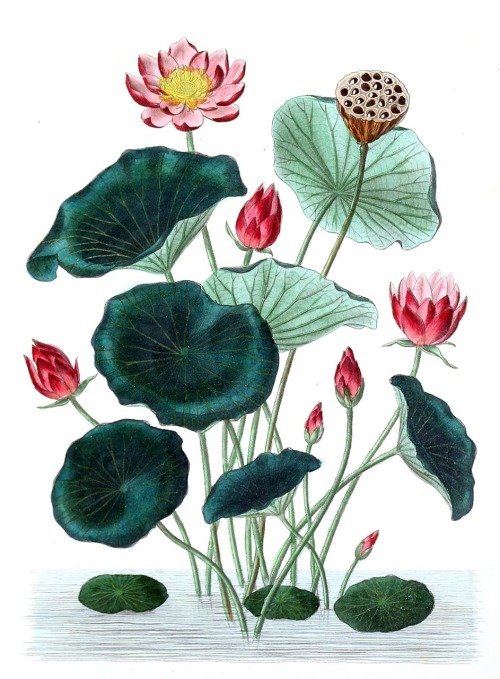 oldbookillustrations:  Indian Lotus (Nelumbo nucifera) From Flore médicale usuelle et industrielle du XIXe siècle (Common and industrial medical flora of the XIX century), by Aristide Dupuis and Oscar Réveil, Paris, 1870. (Source: archive.org)