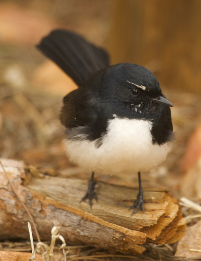 fat-birds:  Willy Wagtail, West MacDonnell Ranges, NT by BRJ INC. on Flickr.