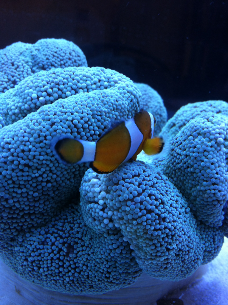 t-ardi-s:  This is Zephrum and his anemone.