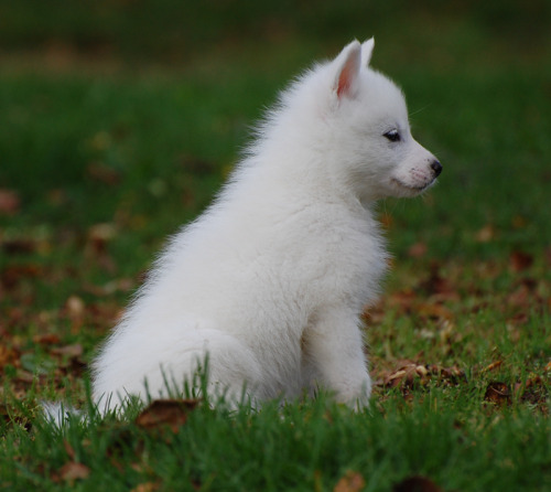 samoyed mix | Tumblr
