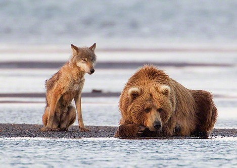 earth-song:  A grey Wolf (Canis lupus) and a Coastal Brown Bear (Ursus arctos) watch for salmon during the first day of the Salmon run at Hallo Bay, Katmai National Park, Alaska. by Christopher Dodds
