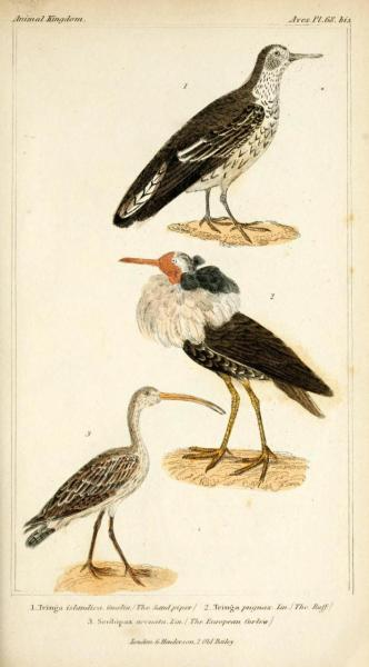 "The Sand Piper, The Ruff, The European Curlew (Numenius arquata) The Eurasian [European] Curlew is currently not an uncommon bird in Europe, and is known as simply ""the curlew"", or, in Scots, the whaup. The breeding population has decreased by almost 80% in recent years, and though the population is still large, it's considered to be Near Threatened. The rate of decline has slowed notably in recent years, but hunting of the bird in its southern range of African and Asian coastal areas is still prevalent.  This is now considered a protected bird in one of its year-round homes, Ireland. Unlike the other curlews, Eurasian curlews are willing to settle in climates that are relatively temperate year-round, and have a permanent population throughout the United Kingdom and the British Isles. The Animal Kingdom Arranged According to its Organization, Vol I: Mammalia-Birds. Baron George Cuvier, 1834."