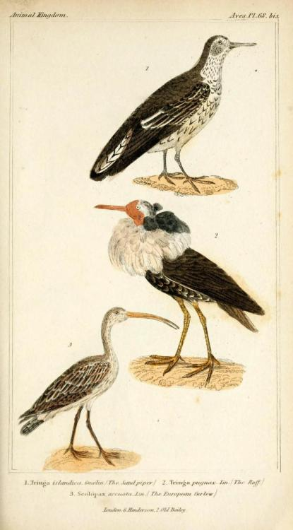 "biomedicalephemera:  The Sand Piper, The Ruff, The European Curlew (Numenius arquata) The Eurasian [European] Curlew is currently not an uncommon bird in Europe, and is known as simply ""the curlew"", or, in Scots, the whaup. The breeding population has decreased by almost 80% in recent years, and though the population is still large, it's considered to be Near Threatened. The rate of decline has slowed notably in recent years, but hunting of the bird in its southern range of African and Asian coastal areas is still prevalent.  This is now considered a protected bird in one of its year-round homes, Ireland. Unlike the other curlews, Eurasian curlews are willing to settle in climates that are relatively temperate year-round, and have a permanent population throughout the United Kingdom and the British Isles. The Animal Kingdom Arranged According to its Organization, Vol I: Mammalia-Birds. Baron George Cuvier, 1834."