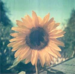 earth-paramour:  we-all-share-one-moon:  ☀  Sunflower….