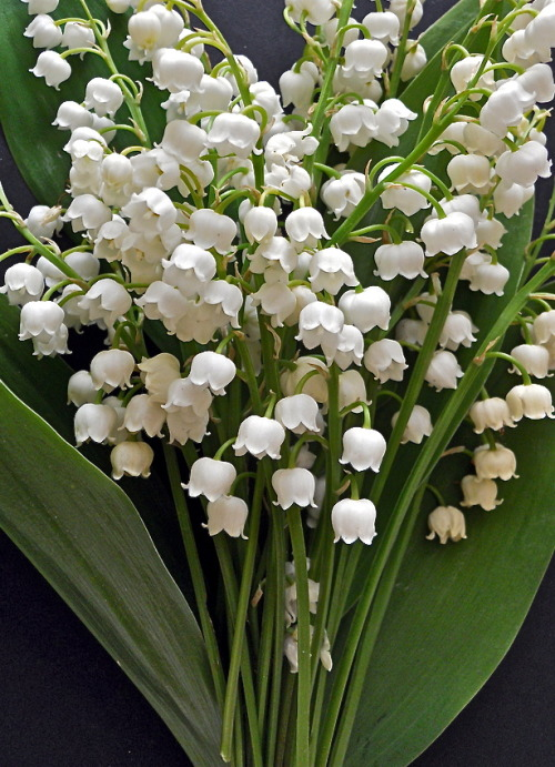 marmmus:  lily of the valley