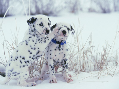 Two cute dalmatian puppies are playing in the snow. They are so cute!
