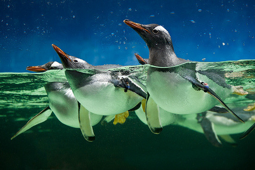 ruineshumaines:  Gentoo Penguins (by Connis and Arthur)