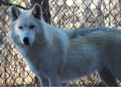2011-12-26 Mn Zoo & Fur-Ever Wild Wolves 111 by puckster55pics