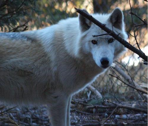 2011-12-26 Mn Zoo & Fur-Ever Wild Wolves 127 by puckster55pics
