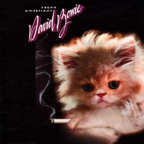 thekittencovers:  David Meowie - Young Amerikittens…  (Happy Birthday DRJ!)