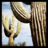 #travel #instagramaz #arizona #desert #saguaro #saguaronationalpark #nationalparks #tucson #tucsonaz #photography #landscapes #sonorandesert #cactus #cactilandscape #desertlife #theamericansouthwest #exploringthewest #explorations #thenationalparks (Taken with instagram)