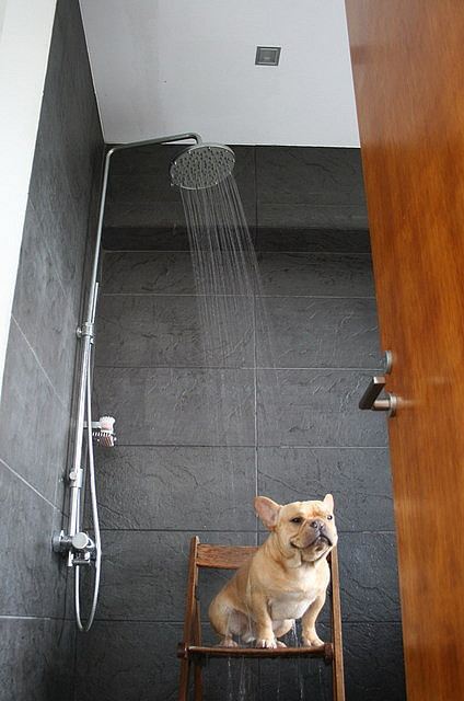 smushedfacecreatures:  French Bulldog Wasabi having shower by solutionsoap on Flickr.