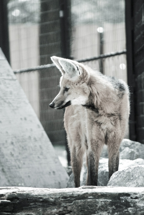 Original photo- Maned Wolf ©Britt Sorensen