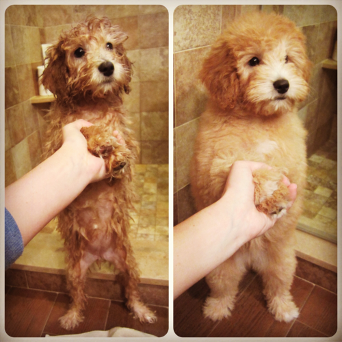 I gave Riley a bath; the difference between wet and blow dried is hilarious! She seriously looks like a different pup:P