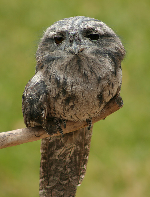 rhamphotheca:  fairy-wren: tawny frogmouth (he looks quite excited to see you) (photo  by 1981 adam)