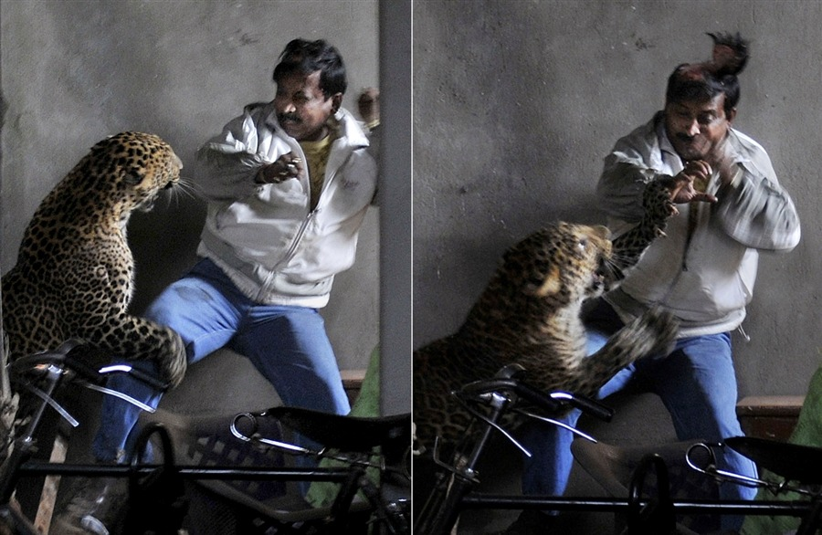 selva:  newsflick: A wild full grown leopard scalps the head of a man as it attacks after wandering into a residential neighborhood in Gauhati, India, Jan. 7. Later the leopard was tranquilized by wildlife officials and taken to the state zoological park. The leopard ventured into a crowded area and injured four people before it was captured and caged, local reports said. (source)