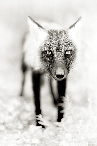 thefoxintheforest:  Fox (by Dan Newcomb Photography)