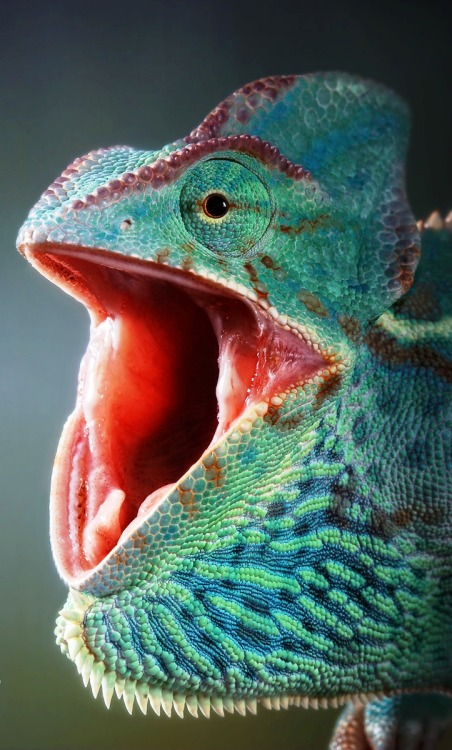 earth-song:  Yemen chameleon threat-yawning.