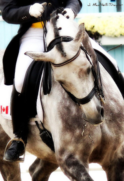 "Dressage Harmony on Flickr.""I have mentioned the supreme refinement of all the aids, of which the intelligence is the most necessary for the rider as well as for the horse.""  ~Antoine de Pluvinel (1555 - 1620)"
